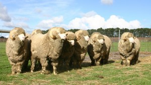 Group-of-Eildon-Springs-rams